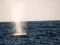 Whale Watching--whales